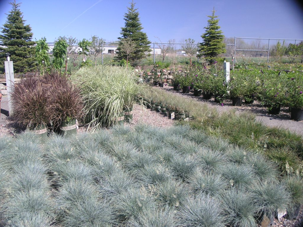 Ornamental grasses seasonal nursery for Small landscape grasses